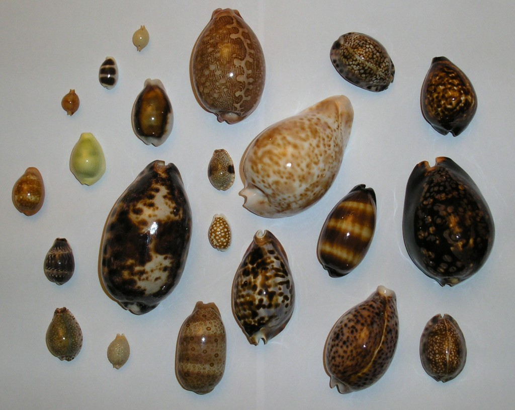 Cowrie Shells of Different Types